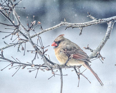 Photograph - Winter Scene - Female Cardinal by Kerri Farley