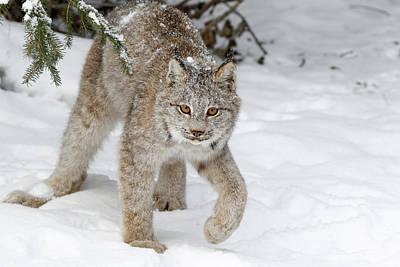 Photograph - Winter Snow Cat by Athena Mckinzie