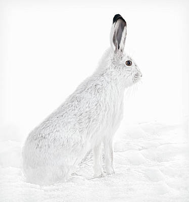 Art Print featuring the photograph  Winter Snowshoe Hare by Jennie Marie Schell