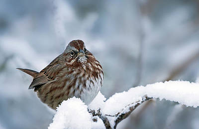 Photograph - Winter Song Sparrow - 365-301 by Inge Riis McDonald