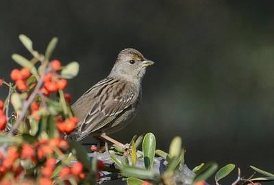 Photograph - Winter Sparrow 2 by Fraida Gutovich