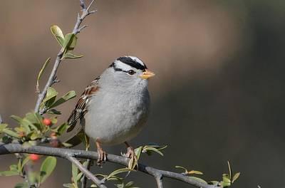 Photograph - Winter Sparrow 3 by Fraida Gutovich