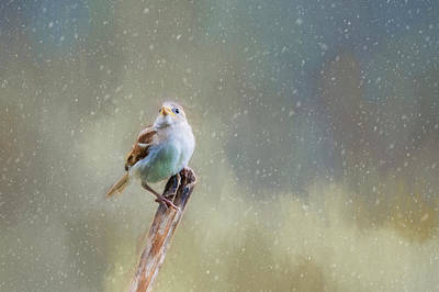 Photograph - Winter Sparrow  by Cathy Kovarik