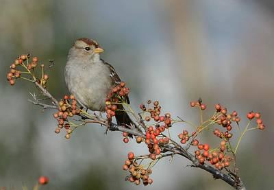 Photograph - Winter Sparrow by Fraida Gutovich