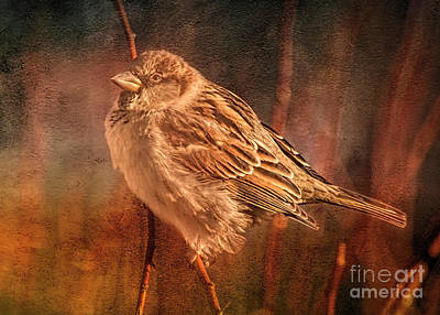 Photograph - Winter Sparrow  by Janice Rae Pariza