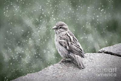 Winter Sparrow Art Print