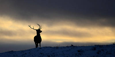 Photograph - Winter Stag Silhouette by Gavin MacRae