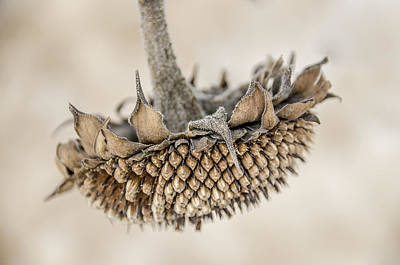Photograph - Winter Sunflower by Julie Palencia