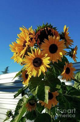 Photograph - Winter Sunflowers by Angela J Wright