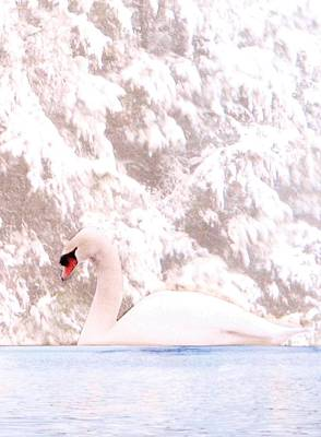 Photograph - Winter Swan by Angela Davies