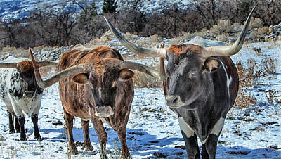 Photograph - Winter Texas Longhorns Large Canvas Art, Canvas Print, Large Art, Large Wall Decor, Home Decor by David Millenheft