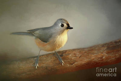 Photograph - Winter Tufted Titmouse by Darren Fisher