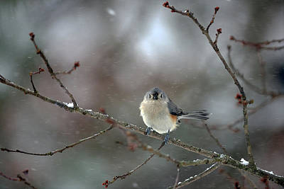 Photograph - Winter Tufted Titmouse by Diane Giurco