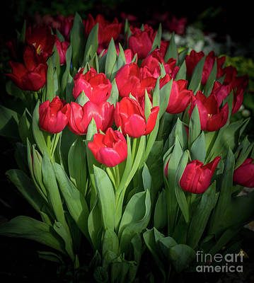 Photograph - Winter Tulips by Cathy Donohoue