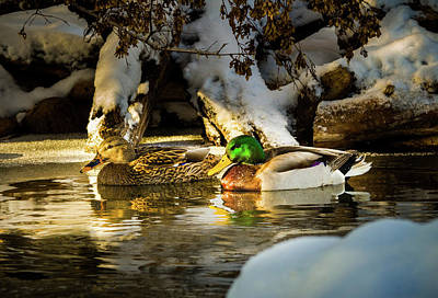 Ice In Water Photograph - Winter Visitors - Mallard Ducks by TL Mair