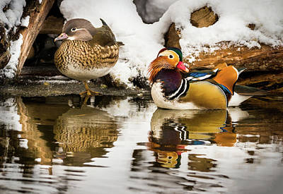 Photograph - Winter Visitors - Mandarin Ducks by TL Mair