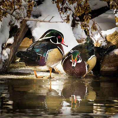 With Red Photograph - Winter Visitors - Wood Ducks by TL Mair