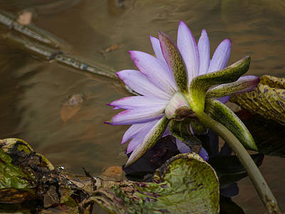 Photograph - Winter Water Lily by Stephanie Maatta Smith