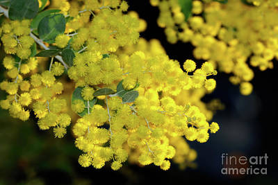Photograph - Winter Wattle By Kaye Menner by Kaye Menner