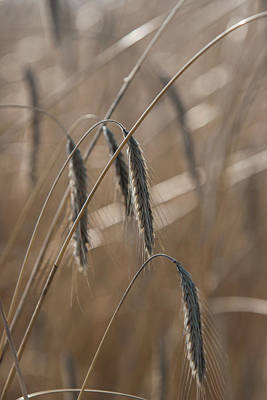 Photograph - Winter Wheat II by Steve Gravano