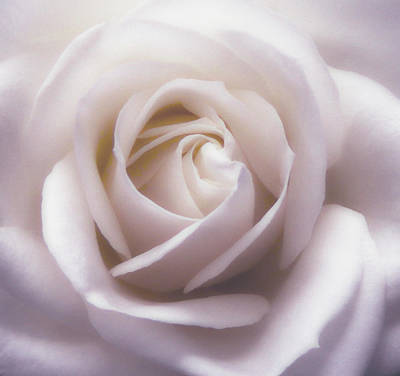Photograph - Winter White Rose 5 by Johanna Hurmerinta