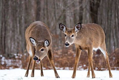 Photograph - Winter White Tail Deer by Karol Livote