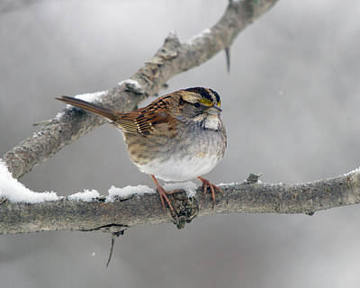 Photograph - Winter White Throat II by Timothy McIntyre