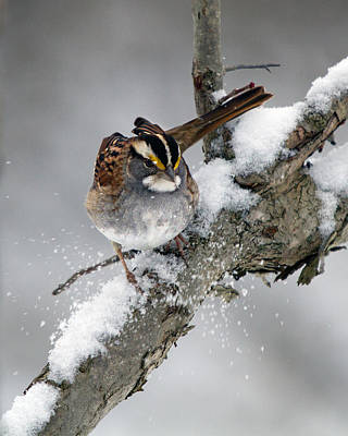 Photograph - Winter White Throat by Timothy McIntyre