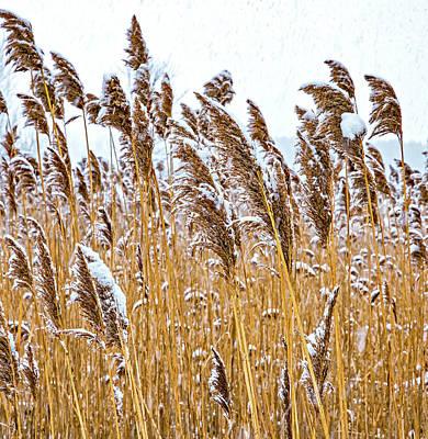 Photograph - Winter Wild Grasses by Steve Harrington