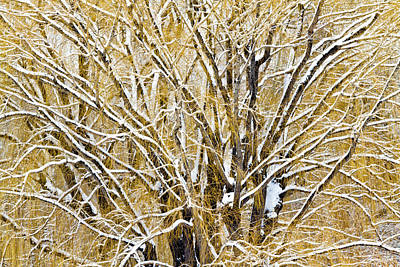 Photograph - Winter Willow by Robert Woodward