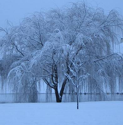 Art Print featuring the photograph Winter Willow Tree Before Dawn_fort Worth_tx by Barbara Yearty