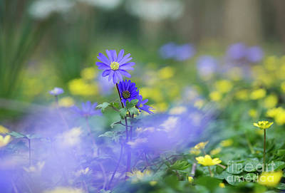 Woodland Violet Photograph - Winter Windflower by Tim Gainey