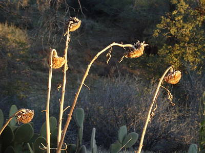 Photograph - Winter Withered Sunflowers by Jim Taylor