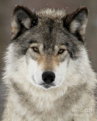 Photograph - Winter Wolf by Heather King