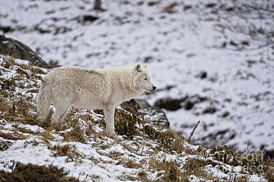 Arctic Wolf Photograph - Winter Wolf by Michael Cummings