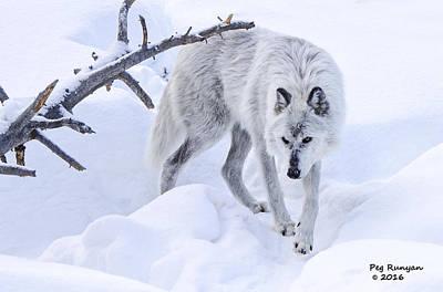 Photograph - Winter Wolf by Peg Runyan