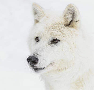 Photograph - Winter Wolf Portrait by Athena Mckinzie