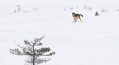 Winter Wolf Art Print by Tracy Munson