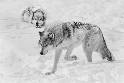Photograph - Winter Wolves Bw by Athena Mckinzie