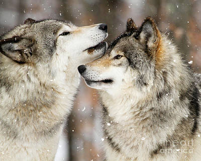 Photograph - Winter Wolves by Heather King