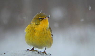 Rare Bird Sighting Photograph - Winter Wonder by Karen Cook