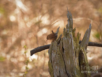 Photograph - Winter Wren by Charles Owens