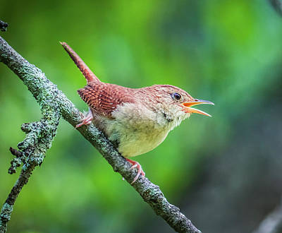 Photograph - Winter Wrens Bird by Lilia D