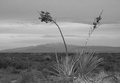 Photograph - Winter Yucca by Amanda Rimmer