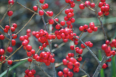 Photograph - Winterberries by Sandy Taylor