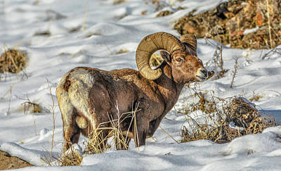 Photograph - Wintering Bighorn by Jason Brooks
