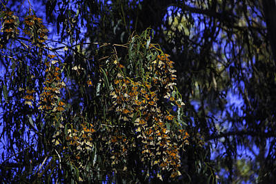 Wintering Monarchs Print by Garry Gay