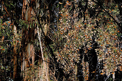 Photograph - Wintering Monarchs by Grace Dillon