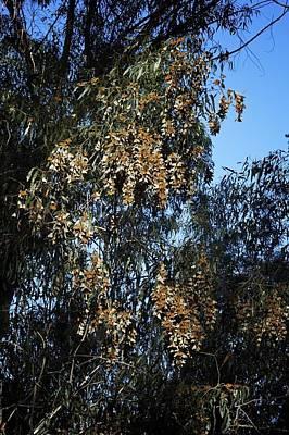Lee Winter Photograph - Wintering Monarchs In Eucalyptus by Mary Lee Dereske