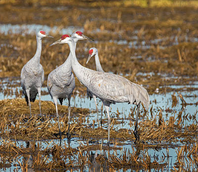 Photograph - Wintering Sandhill Cranes by Loree Johnson